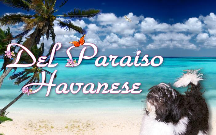 Havanese Dogs & Available Puppies - Del Paraiso Havanese